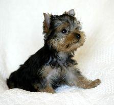 yorkie puppy baby bella