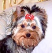 Yorkie female puppy Gretta