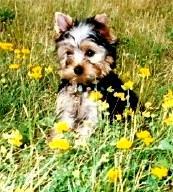 Yorkie puppy female Lexi